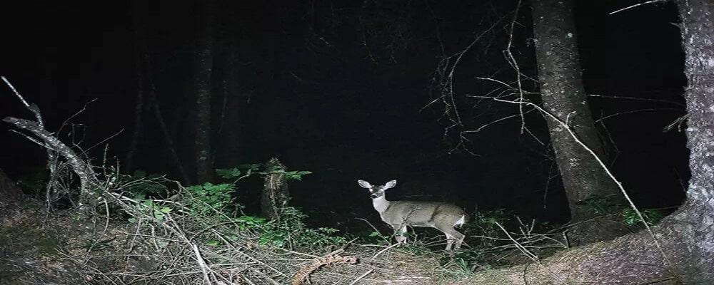 Spotlight for Deer