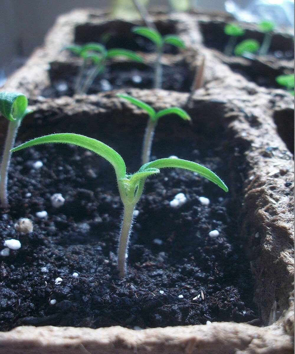 Growing Tomatoes from Seed